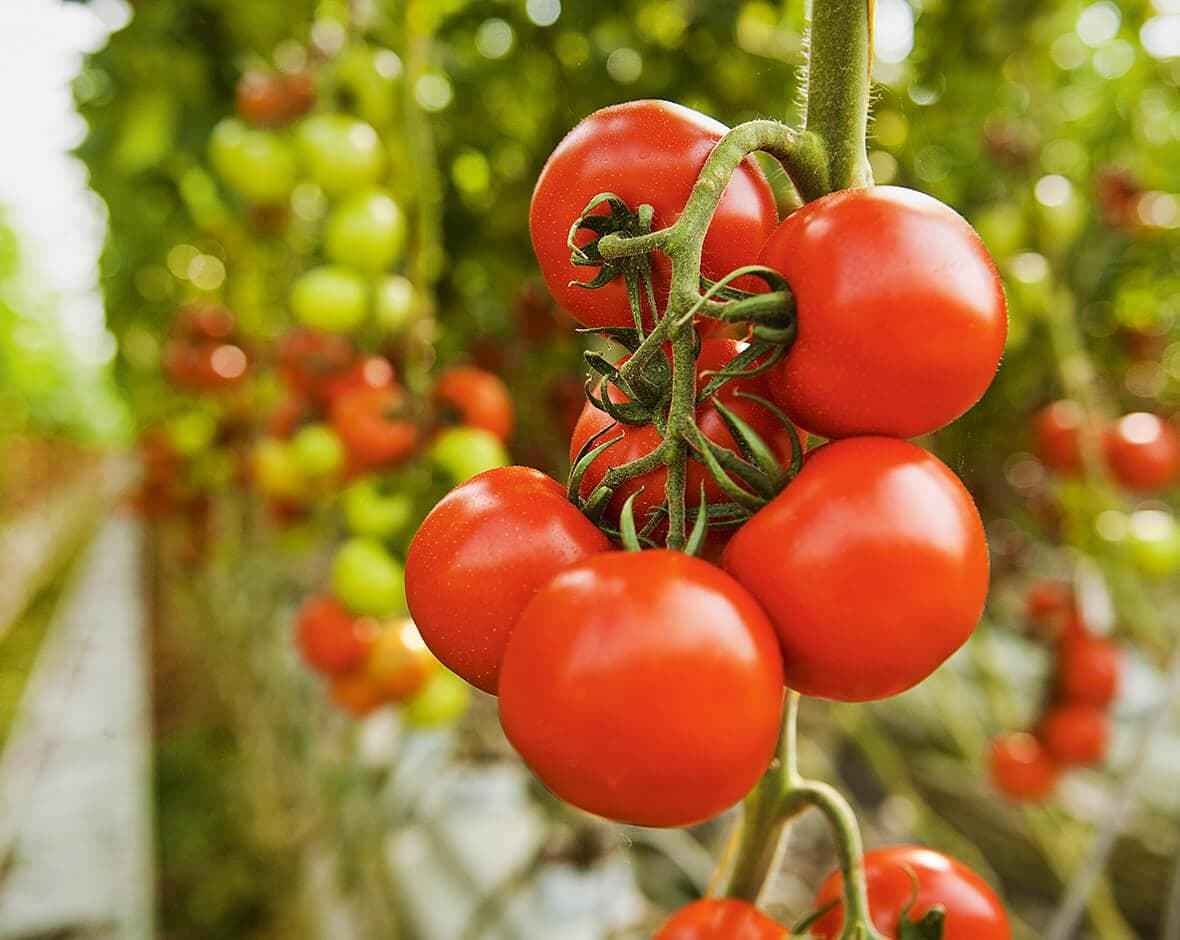 Rote Tomaten an der Rispe